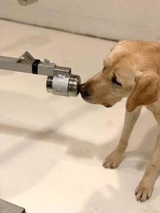 O labrador Poncho, de 2 anos e meio, foi um dos cachorros treinados para a pesquisa