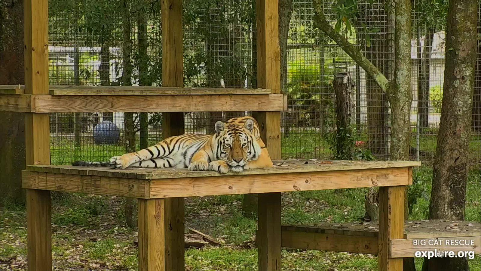 Tigre Lake - Flórida, Estados Unidos. Imagem de Explore.org.