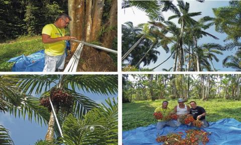 Ferramenta dá segurança para trepadores de palmeira amazônica