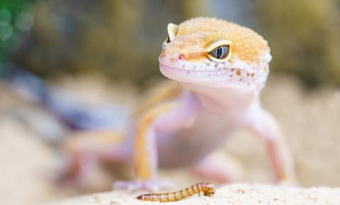 Primeiro lagarto geneticamente modificado é criado por cientistas