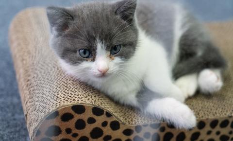 Empresa chinesa anuncia primeira clonagem de gato