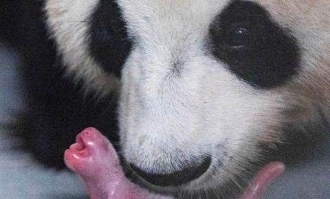Nasce o primeiro panda Gigante na Coréia do Sul