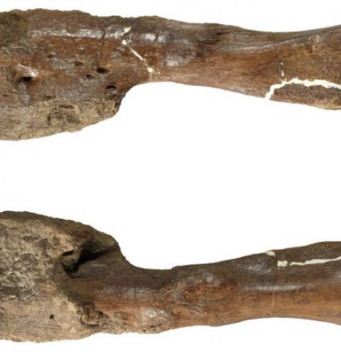 Câncer é descoberto em fóssil de dinossauro